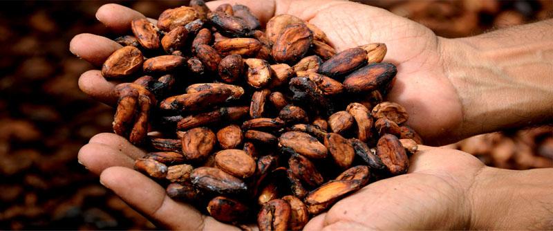 semillas de cacao en mano