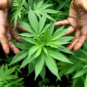 La planta de cannabis.