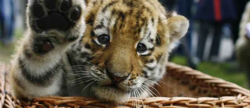 El tigre es codiciado por sus supuestas cualidades afrodisíacas